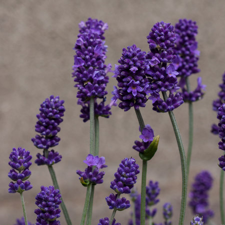 kwiaty lawendy blue