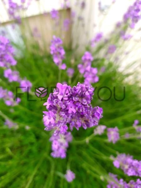 lawenda munstead zbliżenie na kwiatostan