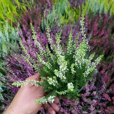 wrzos pąkowy Calluna vulgaris