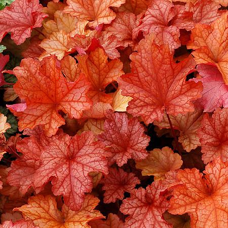 żurawka paprika liście w kolorze papryki