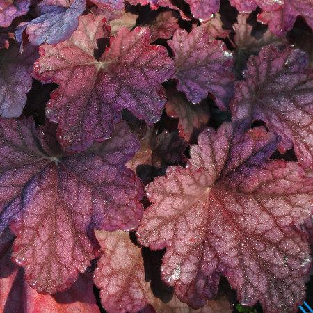 liście żurawki shakaretto w promieniach ogrodowego słońca