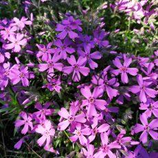 floks szydlasty podczas kwitnienia w ogrodzie