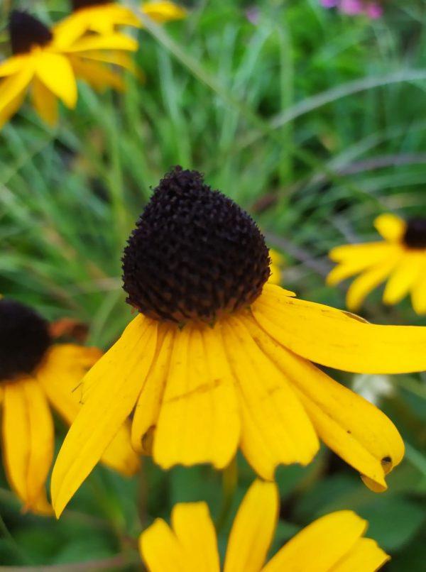 Rudbekia goldsturm kwiat pojedynczy
