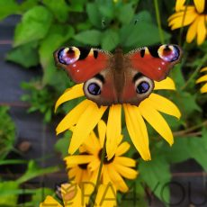rudbekia goldsturm wabi motyle