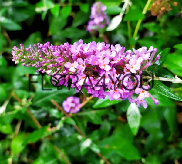 budleja dawida lavender kwiatostan