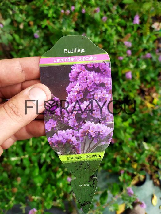 budleja dawida lavender etykieta