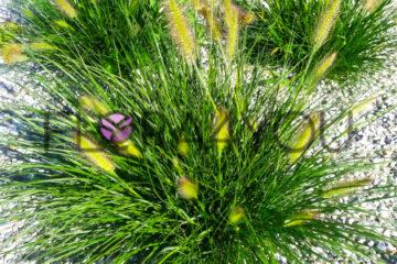 rozplenica japońska hameln w ogrodzie na rabacie żwirowej