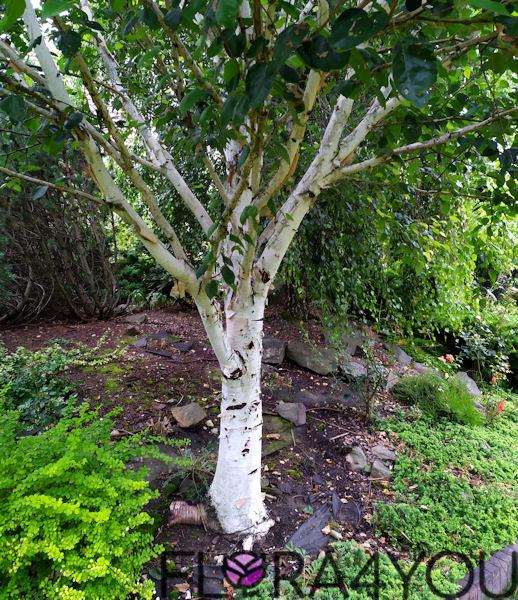 drzewa liściaste w ogrodzie dają sporo cienia, na zdjęciu jest brzoza pożyteczna