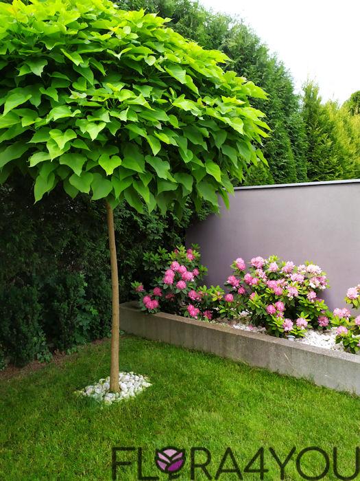 drzewa liściaste w ogrodzie na przykładzie katalpy nana
