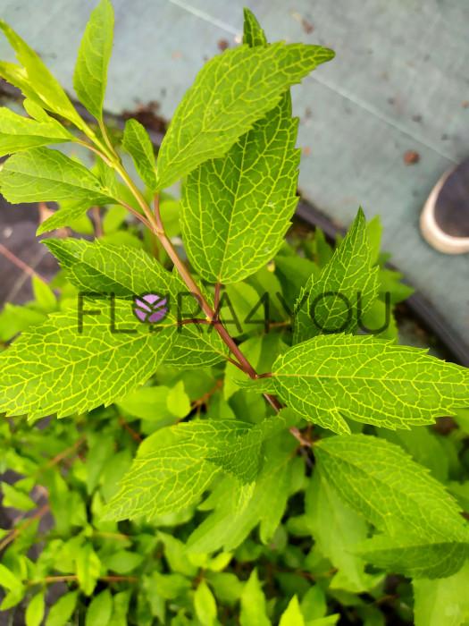 Forscycja kumsum o pięknych liściach
