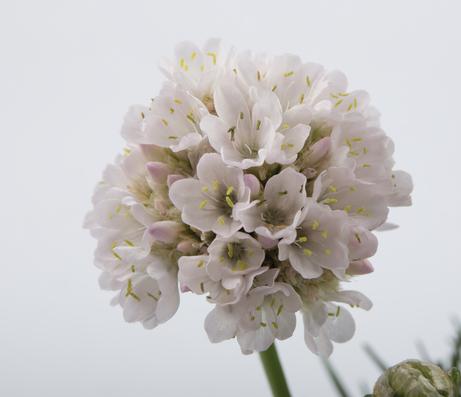 zawciag nadmorski bialy zblizenie na kwiat