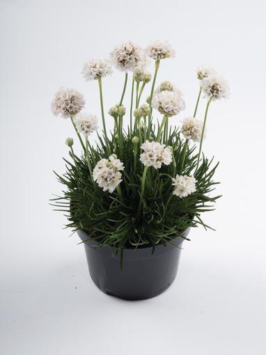 zawciag nadmorski biały podczas kwitnienia