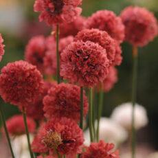 zawciag szerokolistny czerwony podczas kwitnienia latem