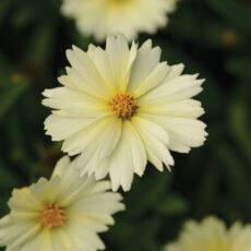 kwiatostan nachyłka wielkokwiatowego