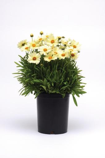nachyłek wielkokwiatowy uptick cream podczas kwitnienia