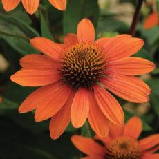 jeżowka pomarańczowa Adobe orange z bliska