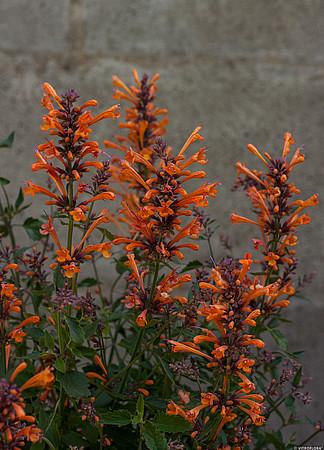 zbliżenie na kwiatostany agastache kudos mandarin