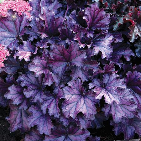 żurawka forever purple na cienistym stanowisku
