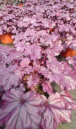 żurawka forever purple w jesiennym wybarwieniu