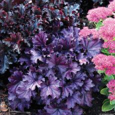 żurawka forever purple obok rozchodnika na rabacie bylinowej w ogrodzie przydomowym
