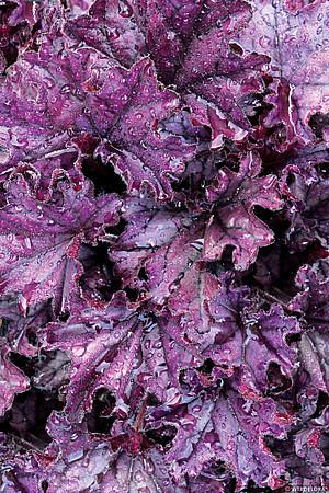 zbliżenie na liście żurawki forever purple