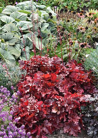 żurawka forever red na rabacie z innymi roślinami w efektownej kompozycji bylin