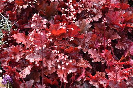 żurawka forever red w czasie kwitnienia latem