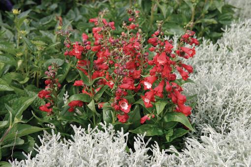 penstemon polaris red w ogrodzie przy srebnych roslinach