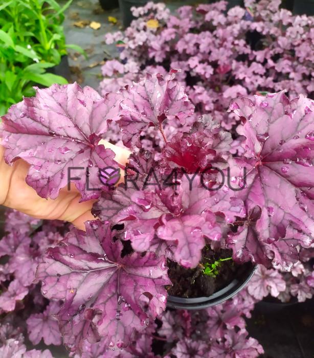 zdjęcie oferowanych sadzonek żurawki forever purple