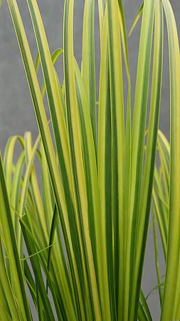 liście tataraku trawiastego w odmianie ogon na szarym tle