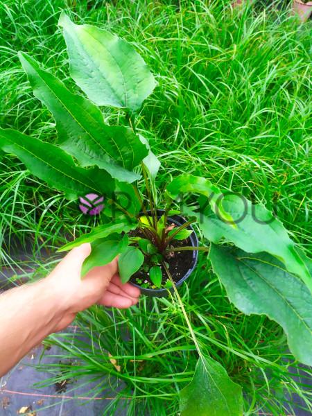 sadzonki jeżóki Green Twister w sierpniu w doniczce 1l