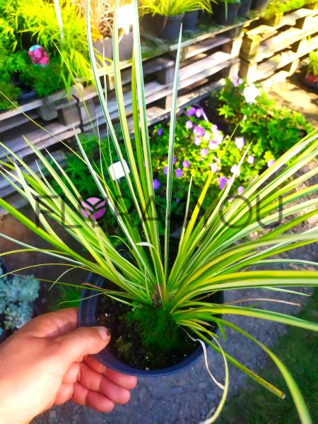 zdjęcie oferowanych sadzonek tataraku trawiastego ogon
