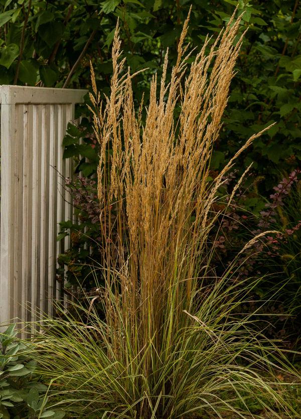 trzcinnik ostrokwiatowy overdam w czasie kwitnienia na rabacie w ogrodzie