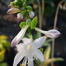 biał kwiatostan hosty soo sweet latem