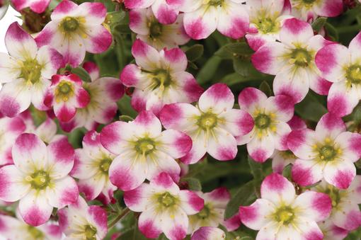 zblizenie na kwiaty skalnicy marto picotee red