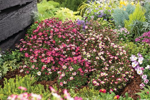 byliny na skalniaku w roli głównej skalnica arndsa w odmianie marto picotee red