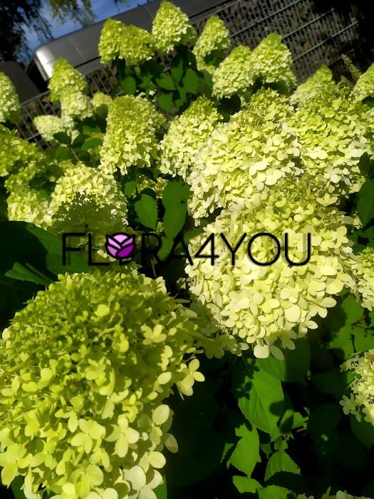 młode kwiaty hortensji bukietowej Limelight