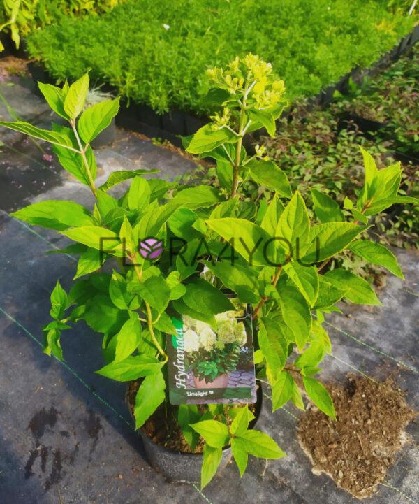 sadzonki oferowanej hortensji bukietowej w 3l pojemniku w szkółce