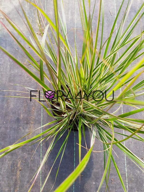 zdjęcie oferowanej sadzonki trzcinnika ostrokwiatowego overdam w szkółce