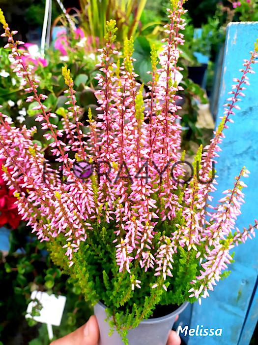 sadzonka wrzosa pospolitego dostępna w obecnym sezonie ogrodowym