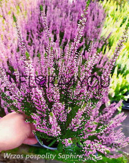 sadzonki fioletowego wrzosa pospolitego w odmianie saphira, sadzonka w 0,5l doniczce