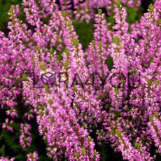 fioletowe kwiaty wrzosa pospolitego w odmianie saphira