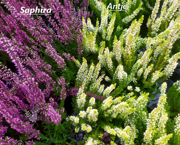 zestawienie oferowanych sadzonek wrzosa pospolitego fioletowego z białym