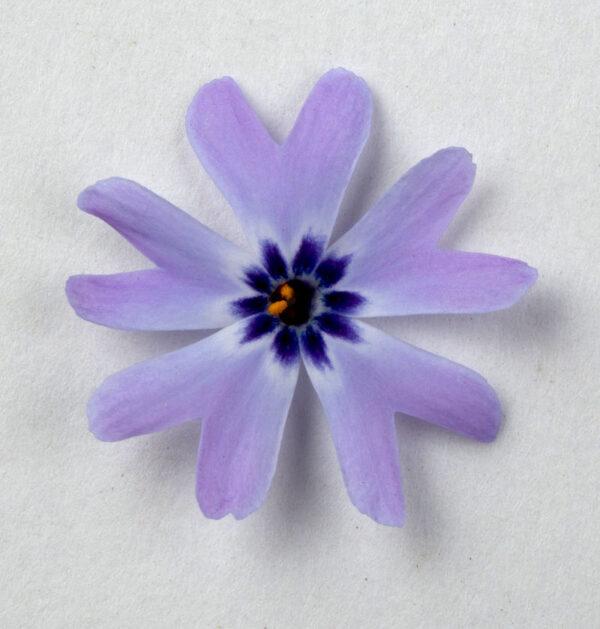 pojedynczy kwiat na białym tle niebieskiego floksa z ciemnym oczkiem