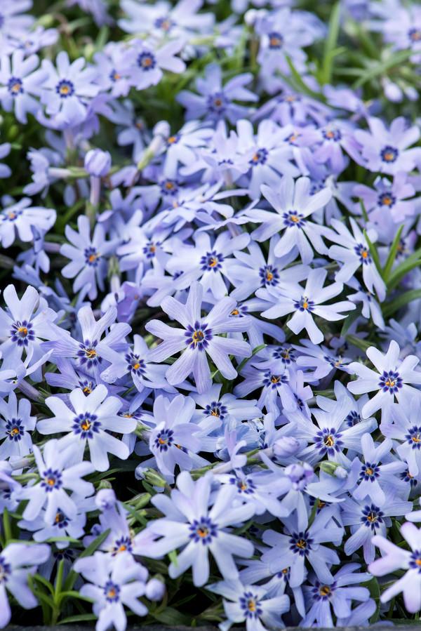 floks szydlasty blue dark center jako płomyk w ogrodzie o niebieskich kwiatach