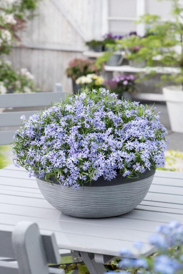 floks szydlasty blue dark center w pięknej kompozycji na tarasie wiosną