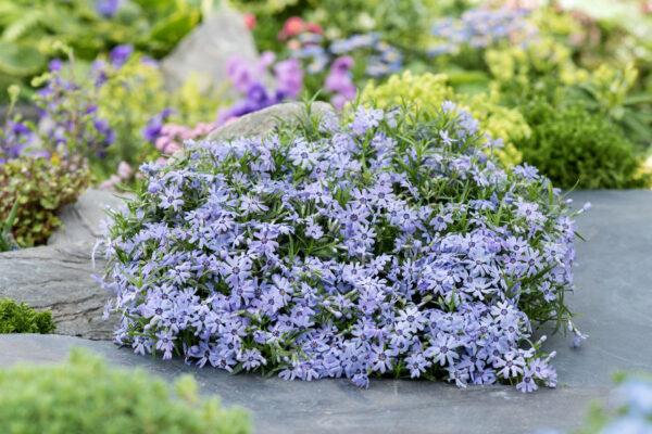 floks blue dark center na skalniaku z innymi bylinami na słońce