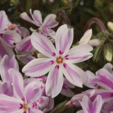floks szydlasty kimono pink white w czasie kwitnienia na wiosne tego roku