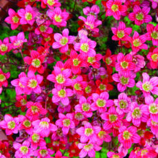 wiosenne kwiaty skalnicy arendsa peter pan w ogrodzie