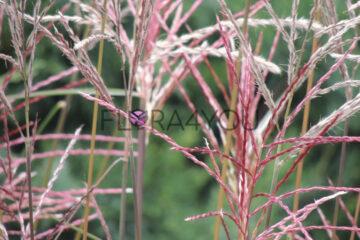 miskant w czasie kwitnienia, różowo fioletowe kwiatostany trawy w ogrodzie przy dobrej pogodzie